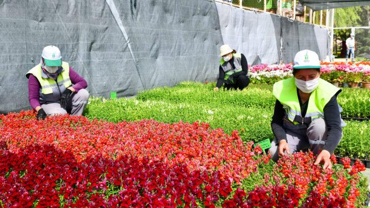Yılda 200 Bin çiçek yetiştiriliyor